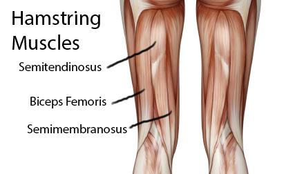 عضلات پشت ران - Hamstring Muscles